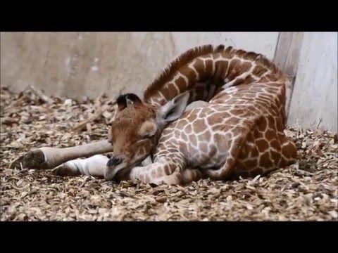 Kijkje in de giraffencrèche van Diergaarde Blijdorp