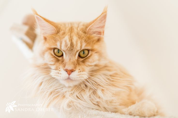 De 105 bästa Maine Coon Cats-bilderna på Pinterest