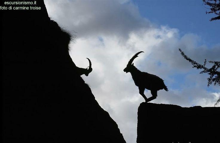"""Carmine Troise, """"Stambecco delle Alpi (Capra Ibex)"""", Parco del Gran Paradiso, #ValledAosta #Piemonte #escursionismo #escursione #natura #escursioni #outdoor Escursionismo.it"""