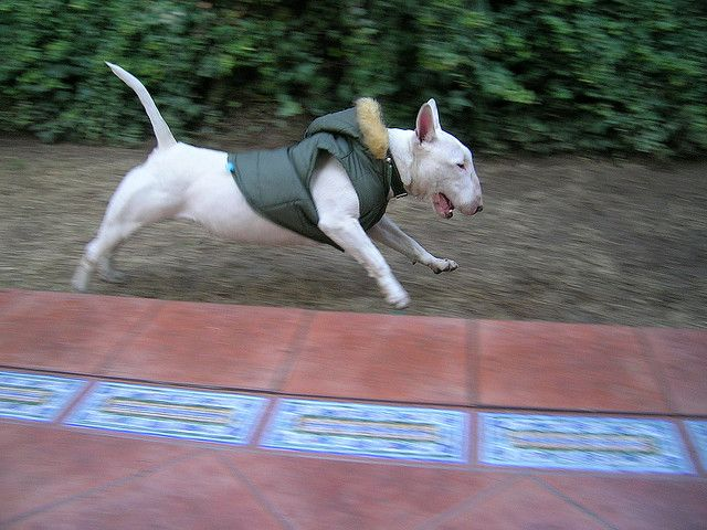 Bull terrier in a parka.
