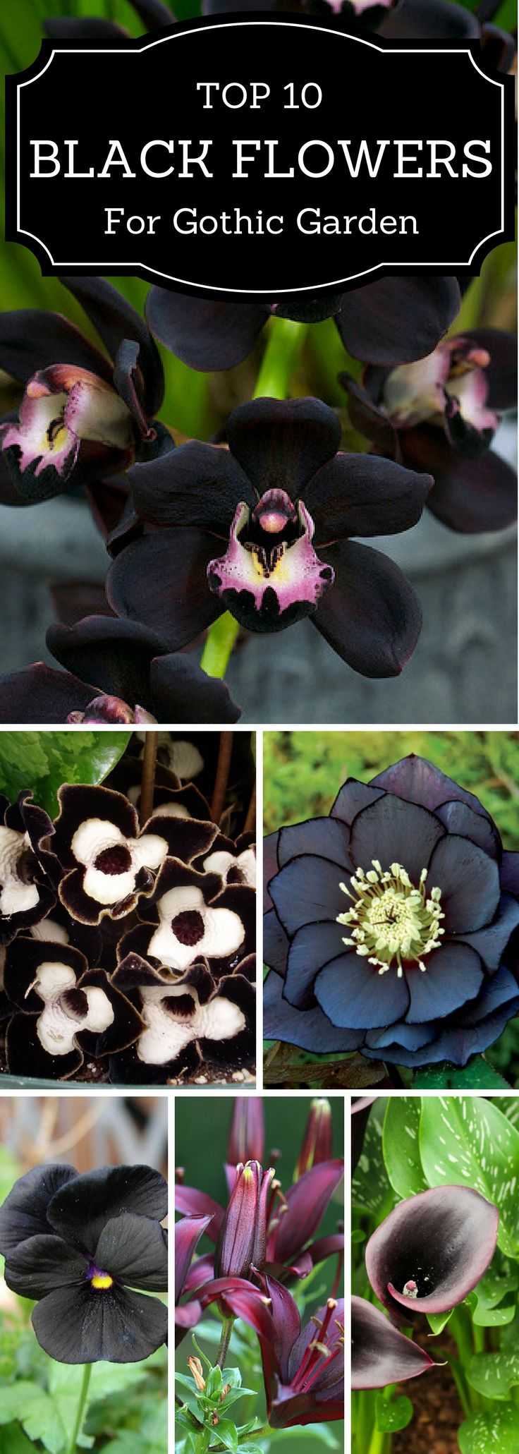 Plants with black foliage or black flowers. Slide show