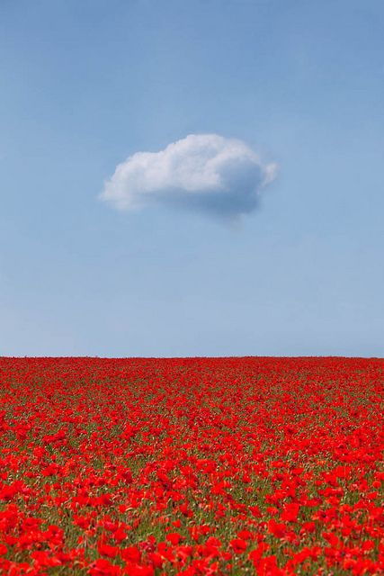 Lone Fluffy Cloud Over A Bed Of Red Flowers