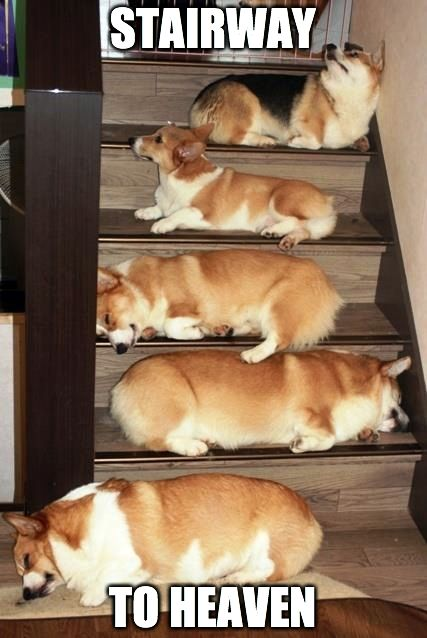Stairway to heaven. #cute #corgi