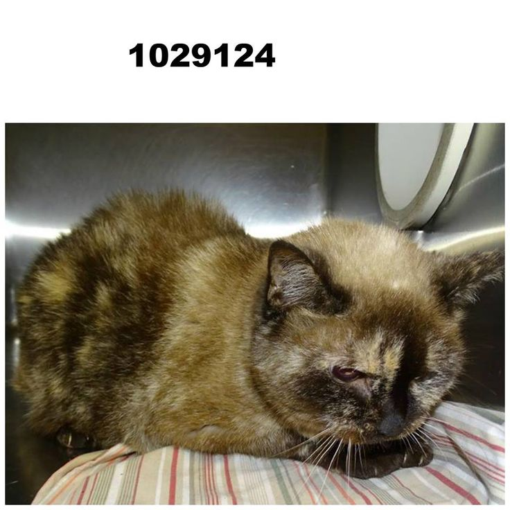 "Hernando County Animal Control's Friends with Yael Astrale and 47 others October 7 at 7:20pm C#1029124 ""Shelaylee"" DMH, gray/cream/black dilute tortie, spayed female, senior. This cat was brought in by a citizen from S. Brooksville Ave. in Brooksville. This cat was brought in by a landlord stating that their tenant went up north several months ago and left the cat behind. They had arranged for a neighbor to feed the cat on the screened porch, but that neighbor has also moved so there is no…"