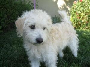 Paddington is an adoptable Poodle Dog in Santa Cruz, CA. The Santa Cruz SPCA's adoption package for dogs and cats includes spay/neuter, vaccinations, microchip/registration, an ID tag, collar, coupons...  Santa Cruz SPCA, Santa Cruz, CA        831-465-5000      Email Santa Cruz SPCA      See more pets from Santa Cruz SPCA      For more information, visit Santa Cruz SPCA's Web site.