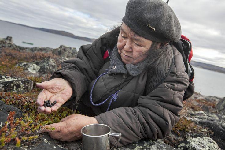 Délice Boréal Northern Delights Inuit herbal tea - harvesting.