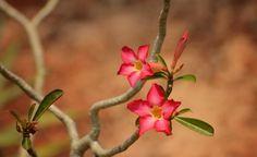 Im Winter ist sie pflegeleicht, im Sommer ein echter Hingucker: Die Wüstenrose ist ein Newcomer unter den Zimmer- und Balkonpflanzen. Sie besticht durch einen außergewöhnlichen Stamm und bei richtiger Pflege mit einer beeindruckenden Blüte.