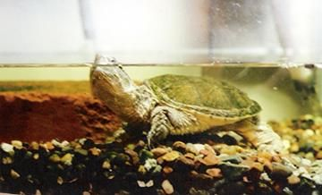 Common Snapping Turtle Care Sheet