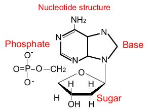 The monomers in a nucleic acid is called nucleotides. They consist ...