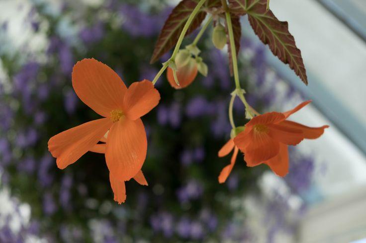 Lyli #fujifilmxt2 #flowers