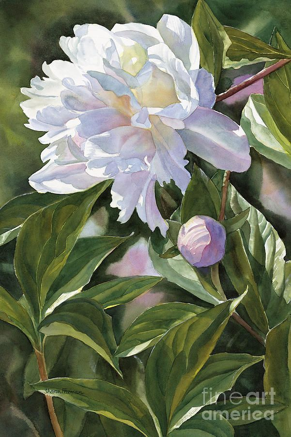 White Peony With Bud ~ Painting by Sharon Freeman
