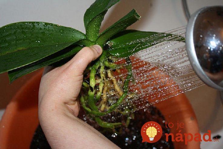 Orchidea je pomerne náročná kvetina na pestovanie, čo vie väčšina pestovateľov. Niektorí pestovatelia však ovládajú tajomstvá, vďaka ktorým im orchidey rozkvitnú do krásy pokojne aj v januári. Poradíme vám preto niektoré tipy, ktoré snáď pomôžu aj vám. Kedy treba orchideu presadiť? Orchideu netreba presádzať každý rok. Orchidea nepotrebuje klasickú zeminu, ale špeciálny substrát, presadiť ju...
