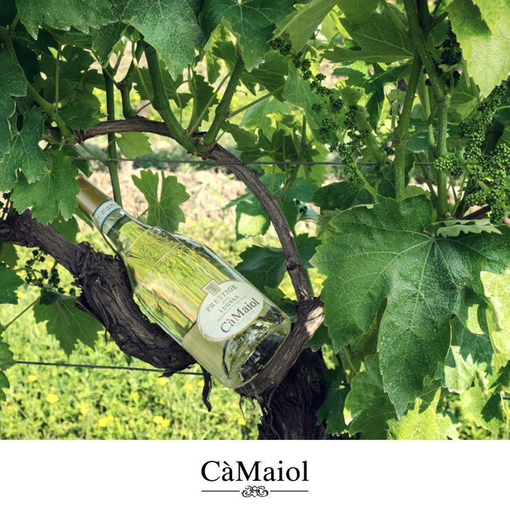 Il nostro Prestige, con i suoi profumi di mela verde, lime e timo selvatico, tra i vigneti #lovingcamaiol