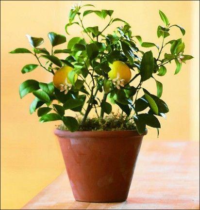 Organic indoor dwarf citrus meyer lemon trees. For the Kitchen!