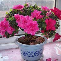 20 UNIDs рододендрон семена, семена цветов бонсай растения для сада и бесплатной доставкой