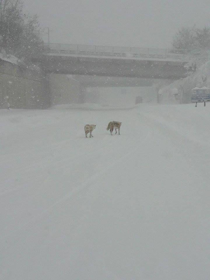 I due cani lupo avvistati sulla tangenziale, in zona Vazzieri, a Campobasso