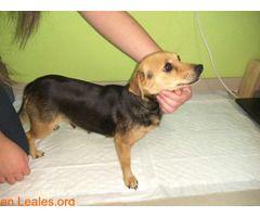 Perrita y dos cachorros GUIMAR  #Perdido #Encontrado #sebusca #extraviado #LealesOrg  Contacto y info: Pulsar la foto o: https://leales.org/perdidos-o-encontrados/perros-encontrados_1/perrita-y-dos-cachorros-guimar_i2764 ℹ   una mamá de tamaño mediano/pequeño (3 o 5 kilos) con sus dos crías hembras fueron encontradas hoy día 9 de enero por la zona del polígono del socorro de Güímar. Una de pelo corto y otra de pelo largo de unos 2-3 meses aproximadamente quizás.  Rabo largo orejas caidas…