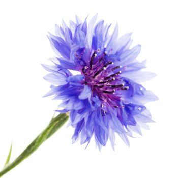 cornflowers. Katie thoughts?