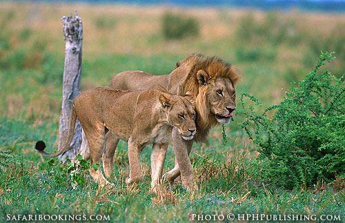 Lions (Chobe National Park, Botswana) - Botswana travel guide: http://www.safaribookings.com/botswana