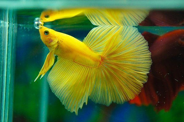 93 best beautiful betta fish and their homes images on for How much are betta fish