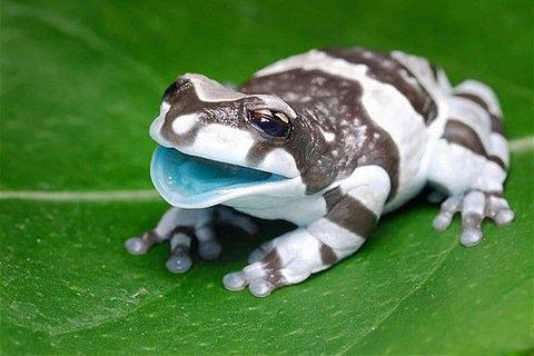 """A beautiful baby Amazon Milk Frog. The """"milk"""" in the name comes from the milky colored fluid these frogs excrete when stressed."""