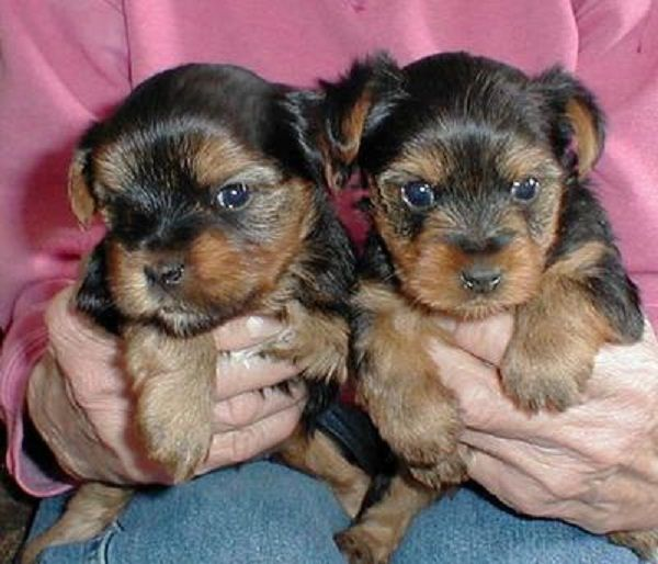 teacup puppies for sale chicago | Zoe Fans Blog