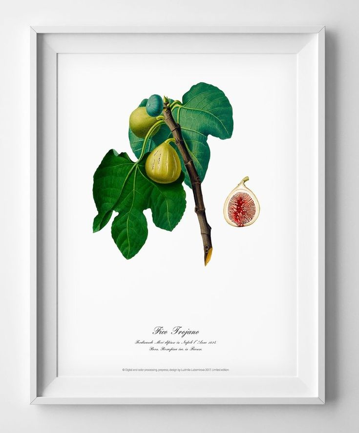 Botanical watercolour art print Figs poster vintage living room home art decor #Vintage
