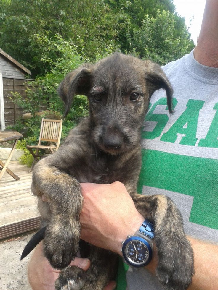Beautiful Irish Wolfhound Puppy - so freakin' cute! I will have one someday!