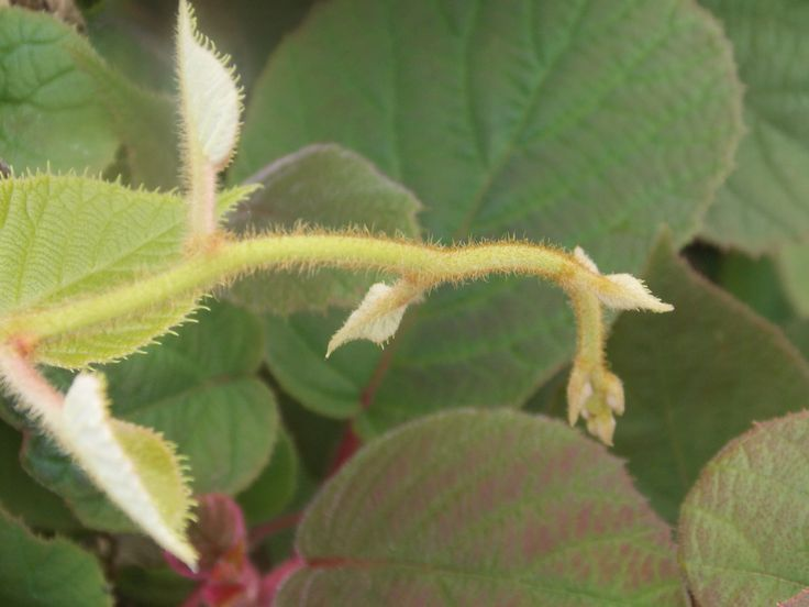 Close up photo of sprouting shoots of Actinidia Deliciosa KIWI.