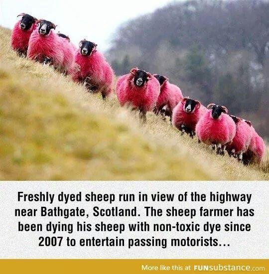 Scotland. Dyed sheep.