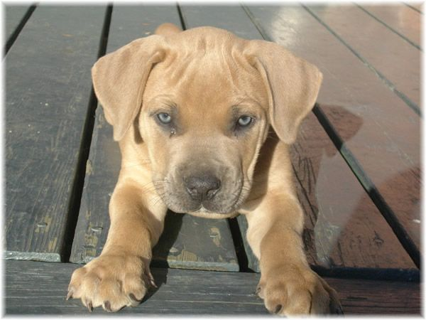 Must see Boerboel Black Adorable Dog - c8257e7ce83ae431dc87422875833f0e--dog-doctor-south-african-boerboel  Collection_469285  .jpg