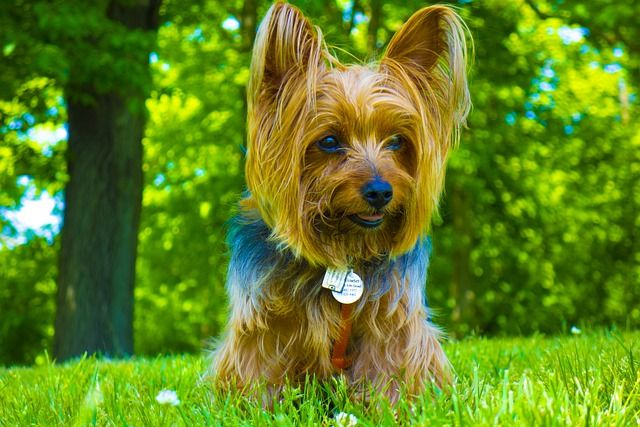 Free Image On Pixabay Dog Yorkie Cute Doggy Sweet In 2020 Yorkie Puppy For Sale Yorkie Puppy Really Cute Dogs