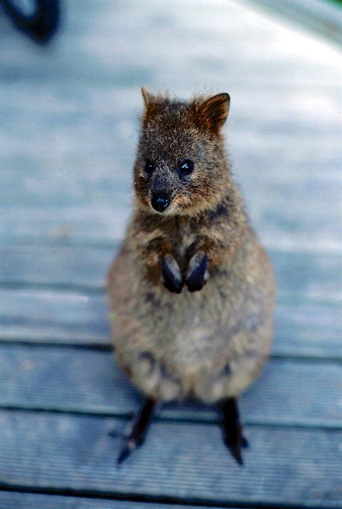 Best QUOKKAS Images On Pinterest Kangaroos Wombat And - 15 photos that prove quokkas are the happiest animals in the world
