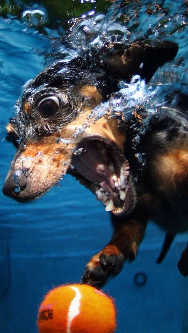 Determined Dachshund diving after a ball.