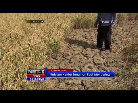 Ratusan Hektar Tanaman Padi di Sumenep Rusak Akibat Kekeringan - NET16 - YouTube