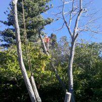 Robinia pseudoacacia removal, Governors Bay