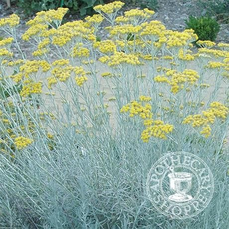 Immortelle Essential Oil Organic - APOTHECARY SHOPPE