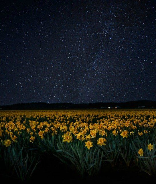 Washington State's Field of Daffodils, as part of the Skagit Valley Tulip Festival.