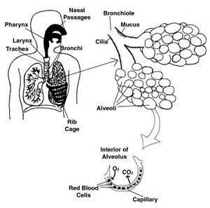 Image result for Teachers Labeled Diagram Respiratory