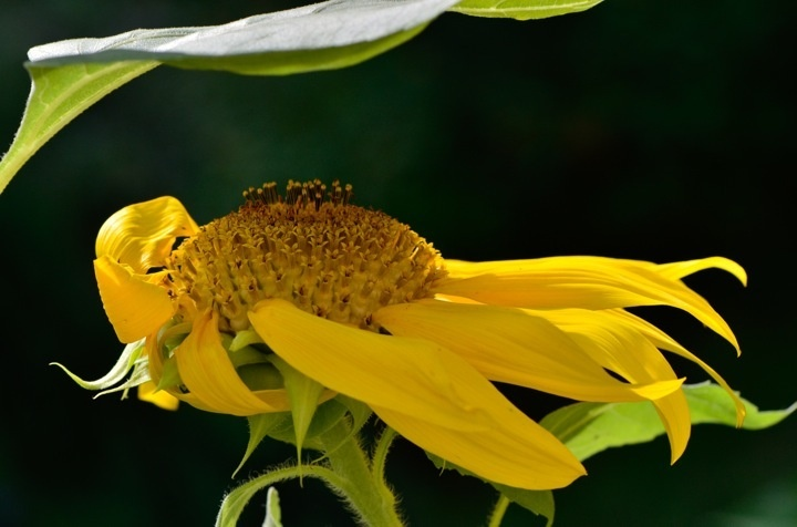 """Last year's sunflower. Always great attitude. This year's plants are about 6"""" tall."""