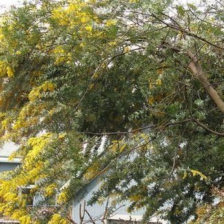 Bailey's wattle | Acacia baileyana