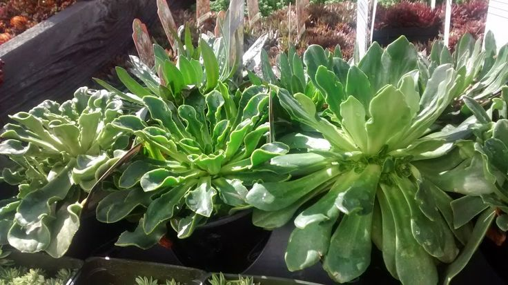 Lovely Lewisia (bitterroot) foliage, attractive even when not in bloom.  Hardy succulent rosettes.  Photo taken at http://www.thicketpdx.com/