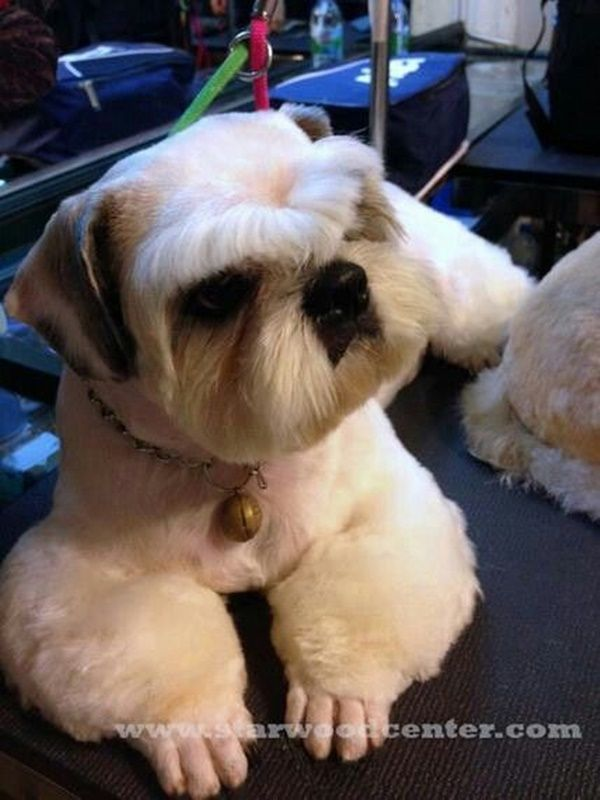 30 Different Dog Grooming Styles - Tail and Fur:  Interesting clip on a Shih Tzu