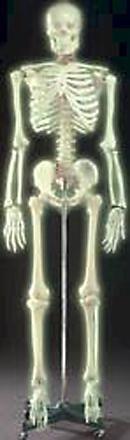 Skeleton Model Skeleton Model Muscle Skeleton Models Human Skeleton Model Used In Anatomy Education Medical Schools.Skeletal Torso Skeleton Model Learning Skills With Skeleton Anatomical Models Large GLow-In-The-Dark Skeleton Model Muscle Skeleton Models Orthopedic Skeleton Human Flexible Skeleton Model Used In Anatomy Education Medical Schools.Skeletal Torso Skeleton Model Learning Skills With Skeleton Anatomical Orthopedic Skeleton Models
