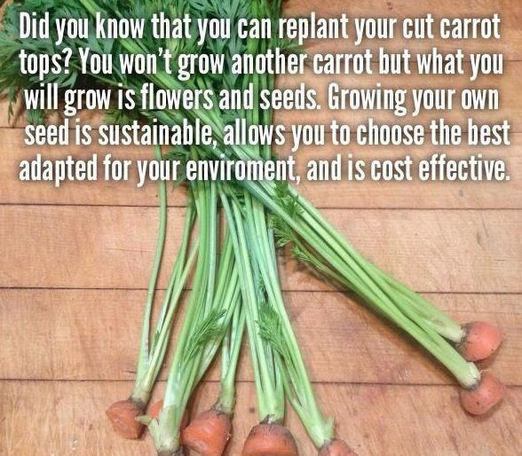 garden tip- why when you replant carrot tops carrots never grew, not supposed to, but you get carrot seeds which you can then plant to restart cycle