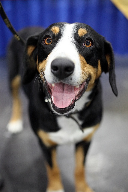 17 best images about entlebucher mountain dogs on pinterest westminster dog show baby burp. Black Bedroom Furniture Sets. Home Design Ideas