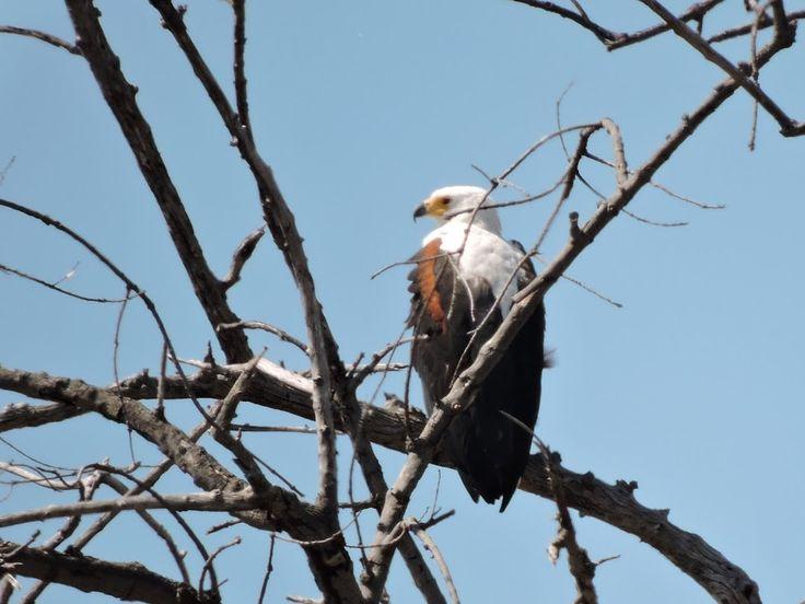 Fish Eagle in the Chobe National Park, Botswana