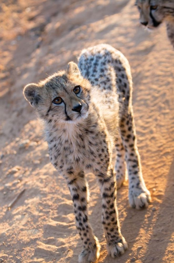 Young cheetah | Wild cats, Baby cheetahs, African cats