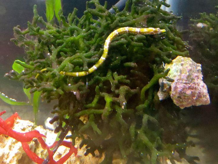 Pinterest for Seahorse fish tank