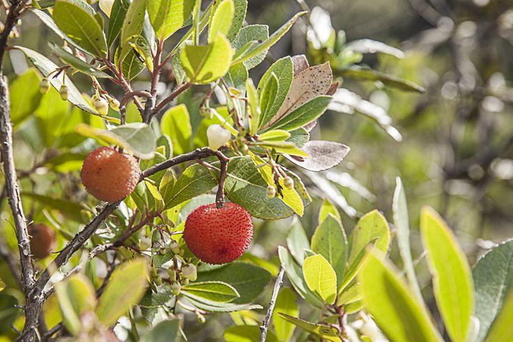 Fruit de l'arbousier